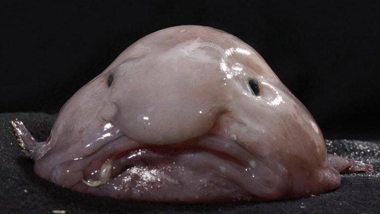 El blobfish, un pez de aspecto gelatinoso que parece tenerun rostro humano, fue elegido como el animal más feo. Vive a profundidades de 1.000metros en las aguas de Australia y Tasmania y está en peligro de extinción, yaque las redes para pescar cangrejos y langostas -su alimento- suelen atraparlos.