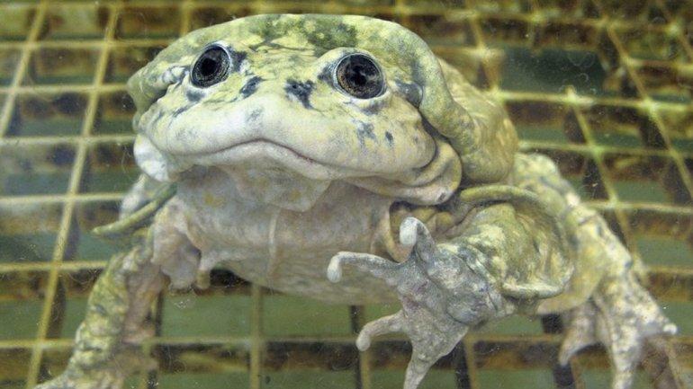 La rana gigante del Titicaca, cuarta especie sin suerte encuanto a belleza, habita en el conocido lago de Bolivia. Los pliegues de sucuerpo son parte de su adaptación al agua, ya que el Titicaca tiene bajacantidad de oxígeno. Se ha convertido en un manjar y, por lo tanto, está enpeligro.