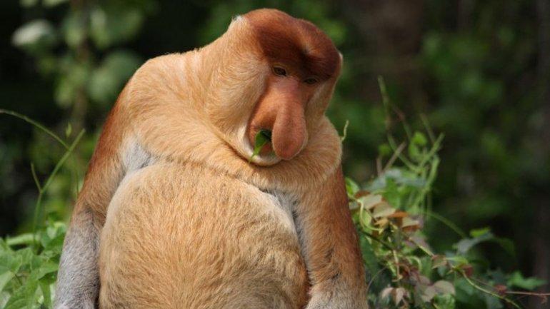 Por último, el mono narigudo corresponde sólo a los machosde la especie y es una forma de atraer a las hembras. Vive en Malasia eIndonesia.