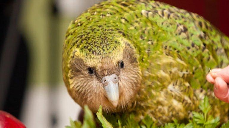 El kakapo, la segunda especie en la lista, es un ave quehabita en Nueva Zelanda. Es como un loro, pero no vuela, y pesa 4 kilos. Quedansólo 1.200 ejemplares, de acuerdo con la Unión Internacional para laConservación de la Naturaleza.