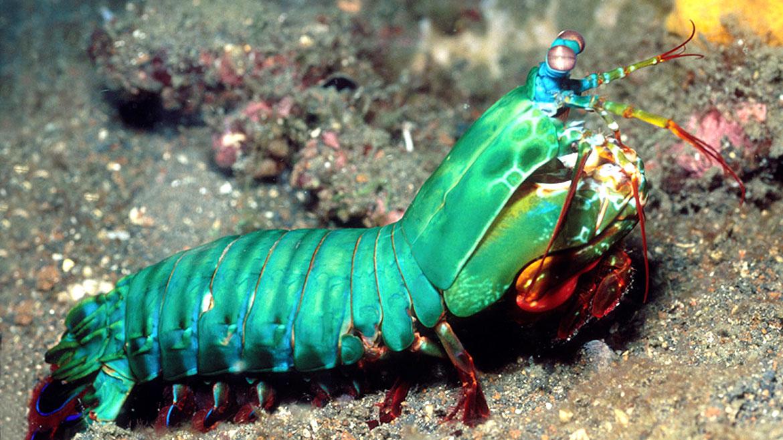 Peacock Mantis Shrimp   Anatomy Creature   Pinterest