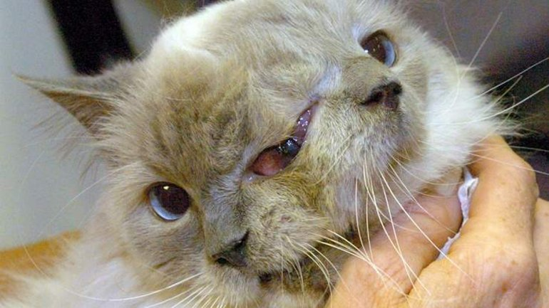 Se le acabaron las siete vidas: murió el gato de dos caras