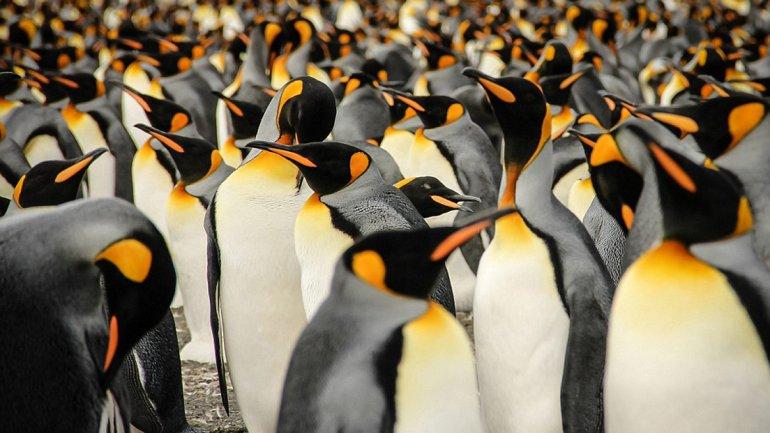 Una multitud de pingüinos rey se reúne en la isla de Georgia del Sur en el Océano Atlántico Sur durante la visita del fotógrafo Lisa Vaz