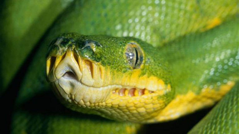 La serpiente causa más de 50 mil muertes de seres humanos