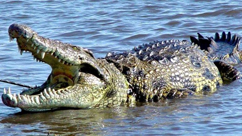 El cocodrilo se encuentra en el décimo puesto de los animales más mortíferos