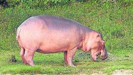 Uno de los hipopótamos de la Hacienda Nápoles