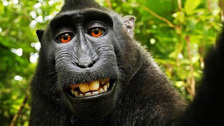 Naruto, el mono que se tomó una selfie con la cámara del fotógrafo británico