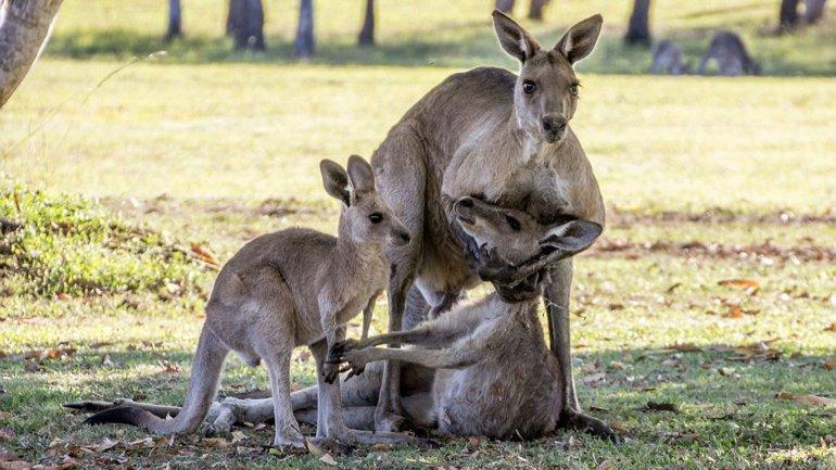 Un canguro macho sostiene la cabeza de la hembra ante la mirada de su cría. Ocurrió en River Heads, Queensland, Australia. La fotografía conmueve al país.