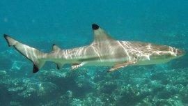 Un tiburón punta negra, la misma especie que el encontrado en la pileta
