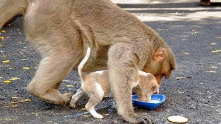 El mono cuida que su
