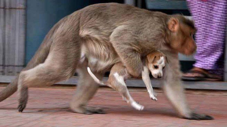 El primate carga a su mascota en una de las calles de la ciudad