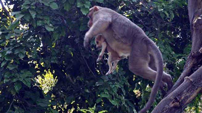 El mono pasea al perro por los árboles