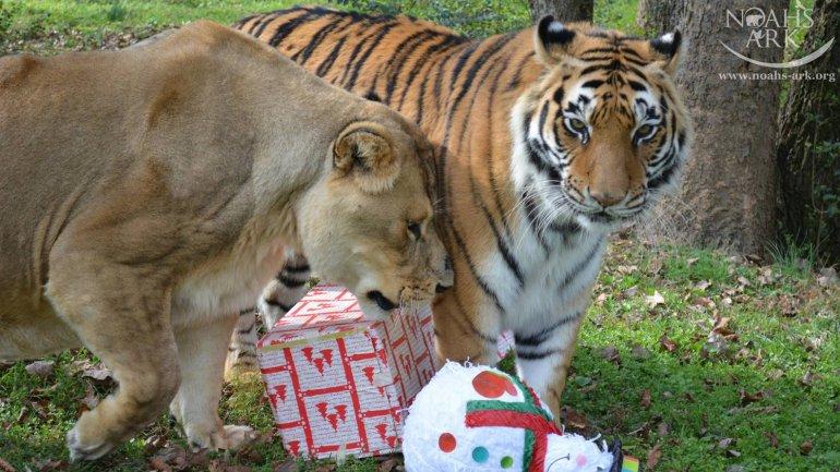 leon y tigre blanco - photo #35