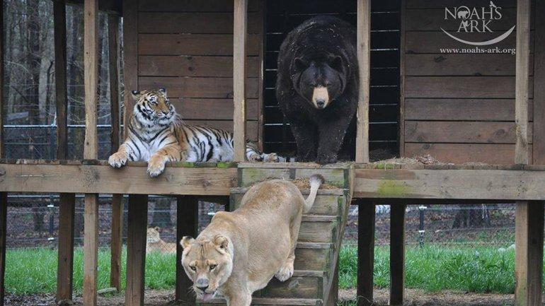 Baloo, Leo y Shere viven juntos en el