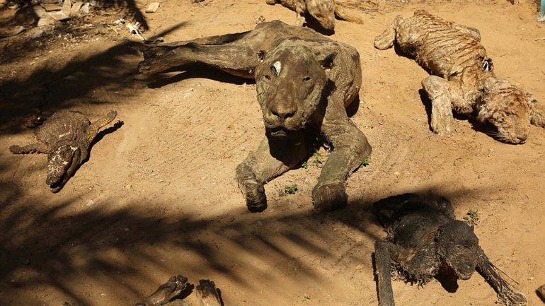 Entre las especies muertas en el zoológico de Gaza se hallanavestruces, monos, tortugas, ciervos, una llama, un león y un tigre.