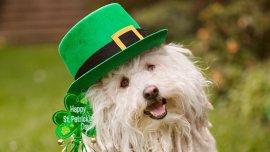 Beast, la mascota de Marc Zuckerberg, con un sombrero y un bastón verde por San Patricio