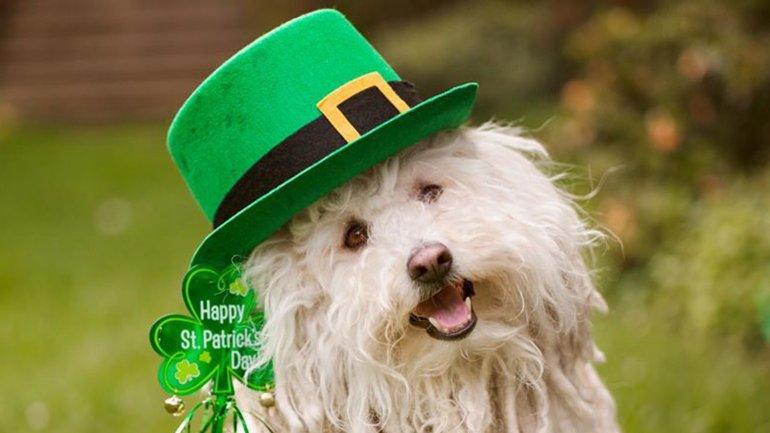 Beast, la mascota de Mark Zuckerberg, con un sombrero y un bastón verde por San Patricio