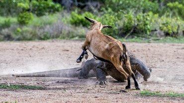 La cabra intentará escapar, sin éxito. Los dragones de Komodo pueden oler a sus presas desde casi 10 kilómetros de distancia