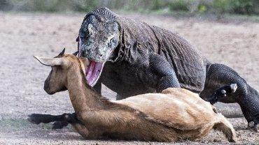 El dragón de Komodo sujeta a sus víctimas por el cuello, impidiéndoles respirar