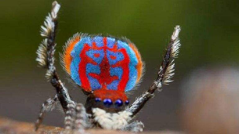 Descubrieron una extraña araña que se comporta como un gato