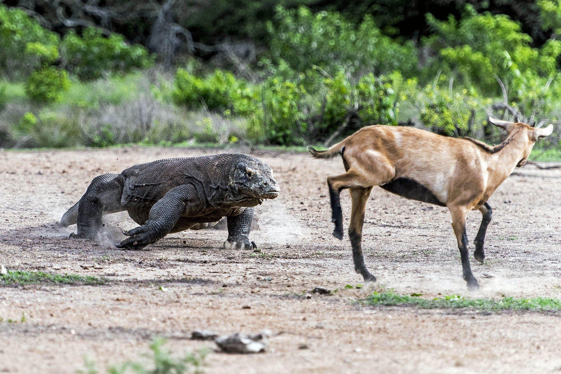 Un dragón de Komodo está cerca de atrapar a una desorientada cabra en la isla de Indonesia que lleva el nombre de los feroces animales